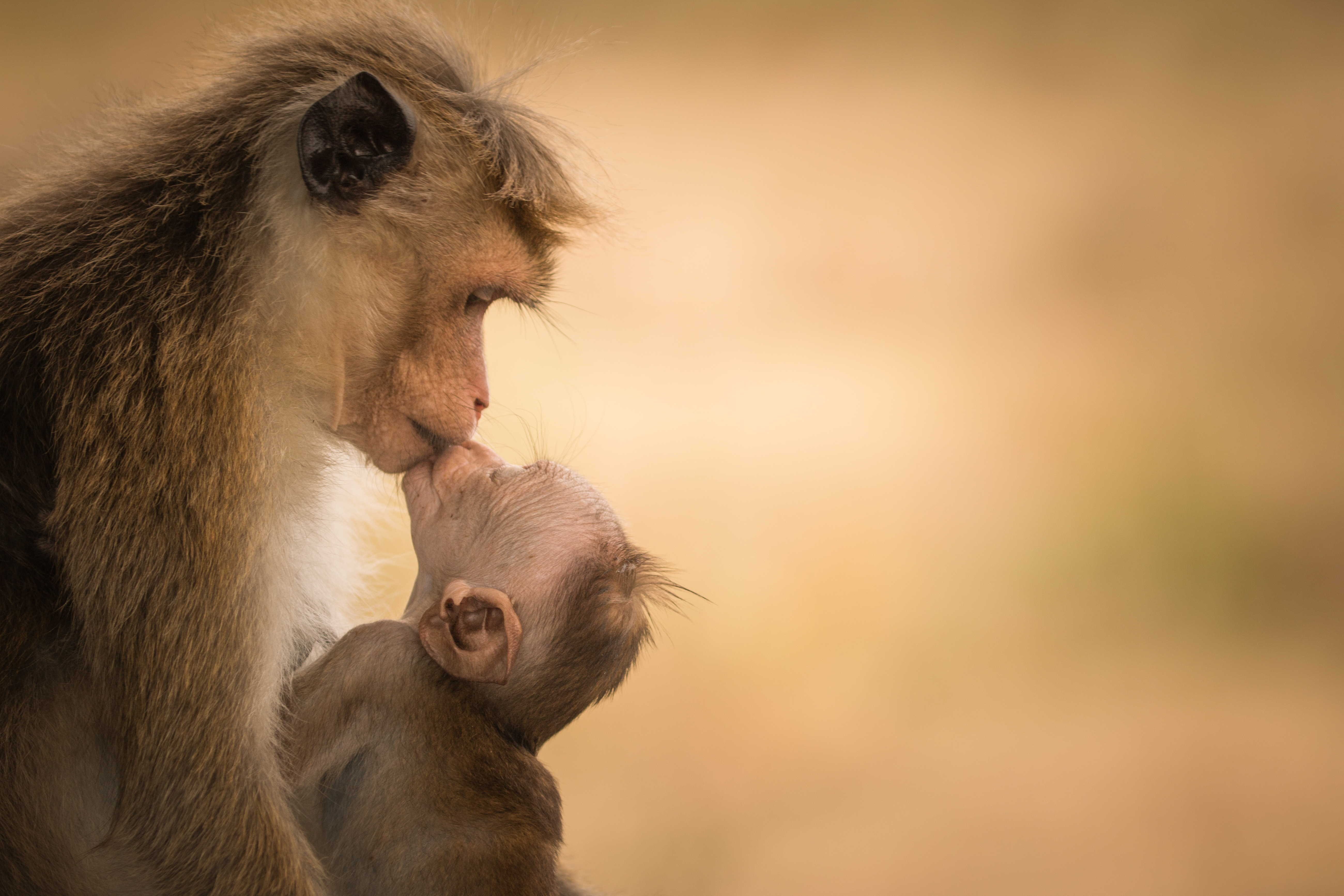 Female_Toque_macaque_with_baby_-_(Harmony_of_Life)